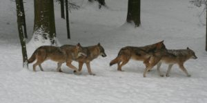 Gruppe Wolf Schweiz (David Gerke)